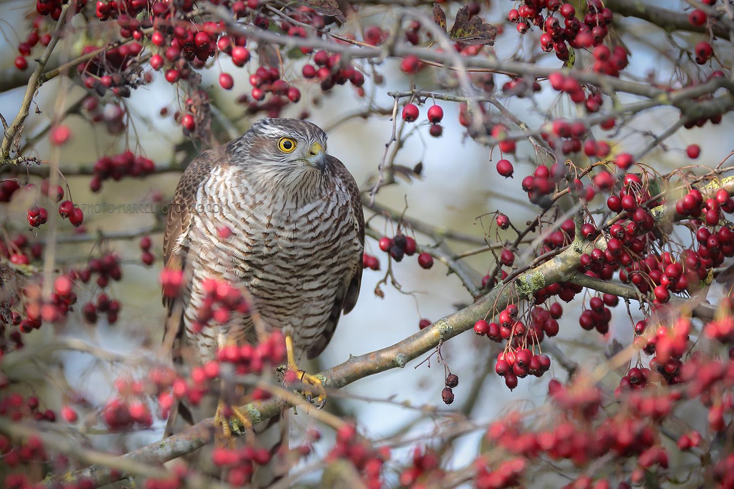 Sperwer; Eurasian Sparrowhawk; Accipiter Nisus