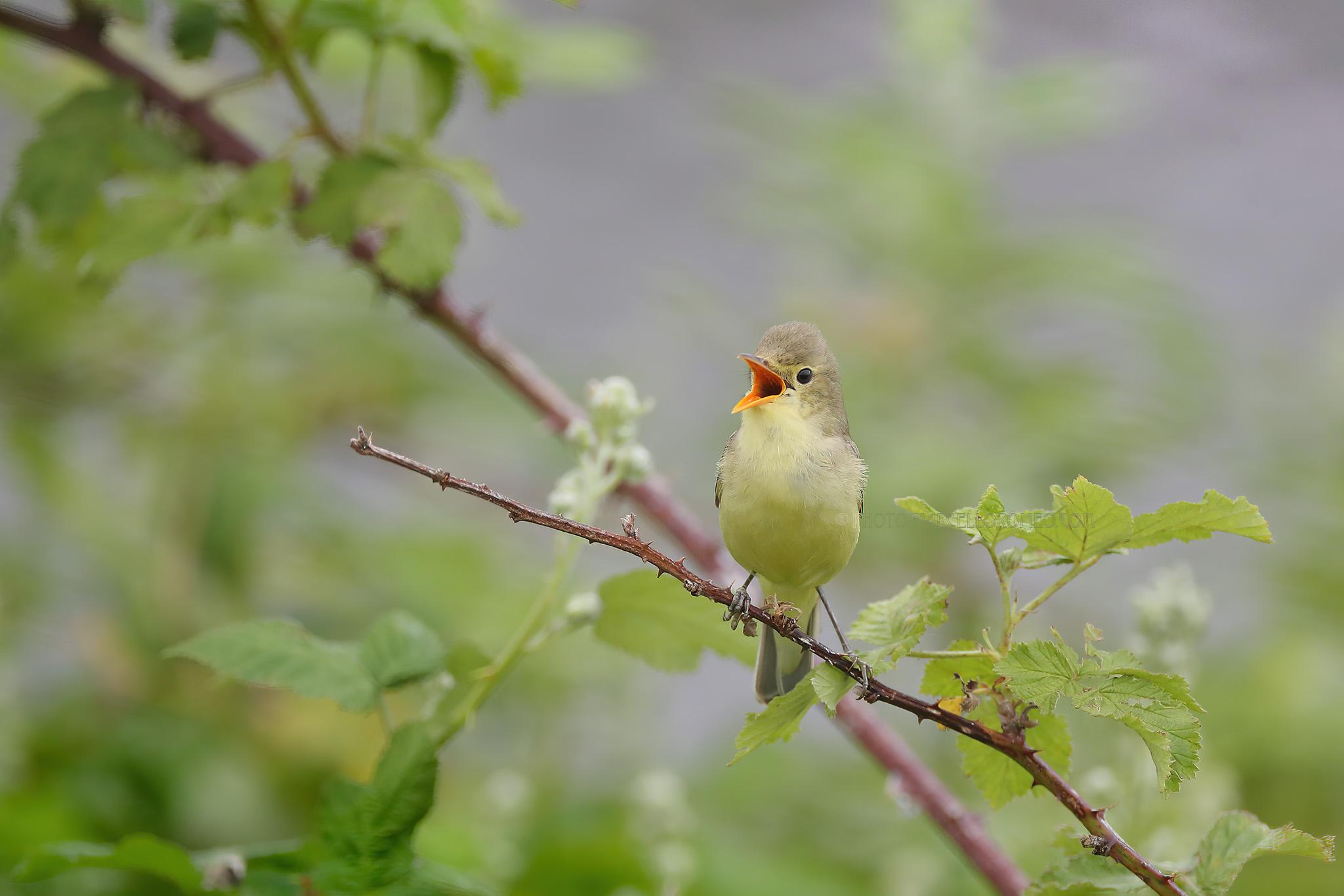 Spotvogel; Icterine Warbler; Hippolais Icterina