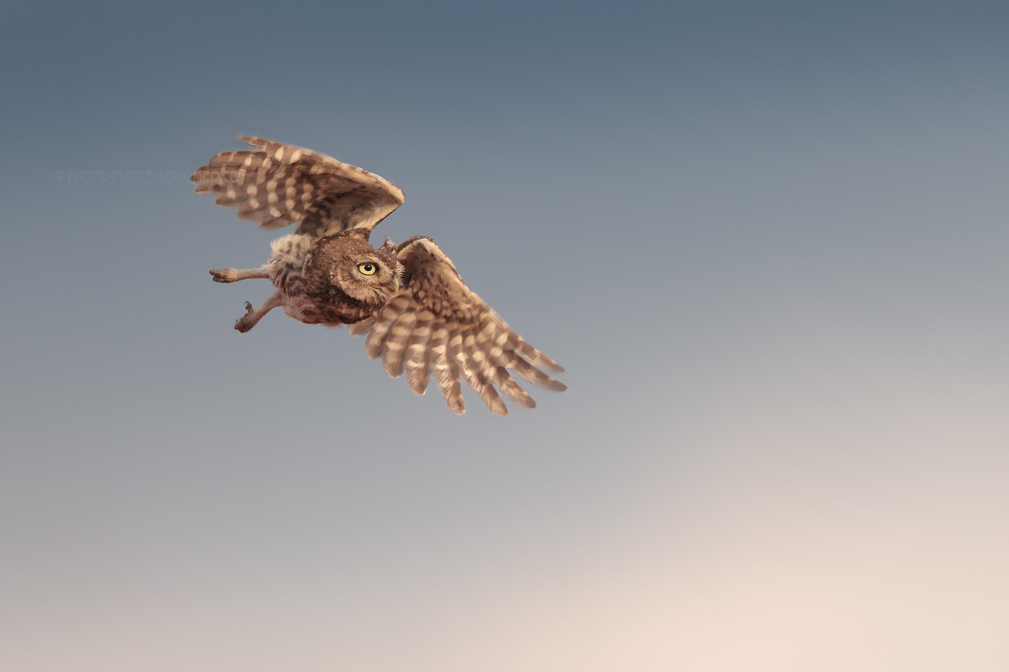 Steenuil; Little Owl; Athene Noctua