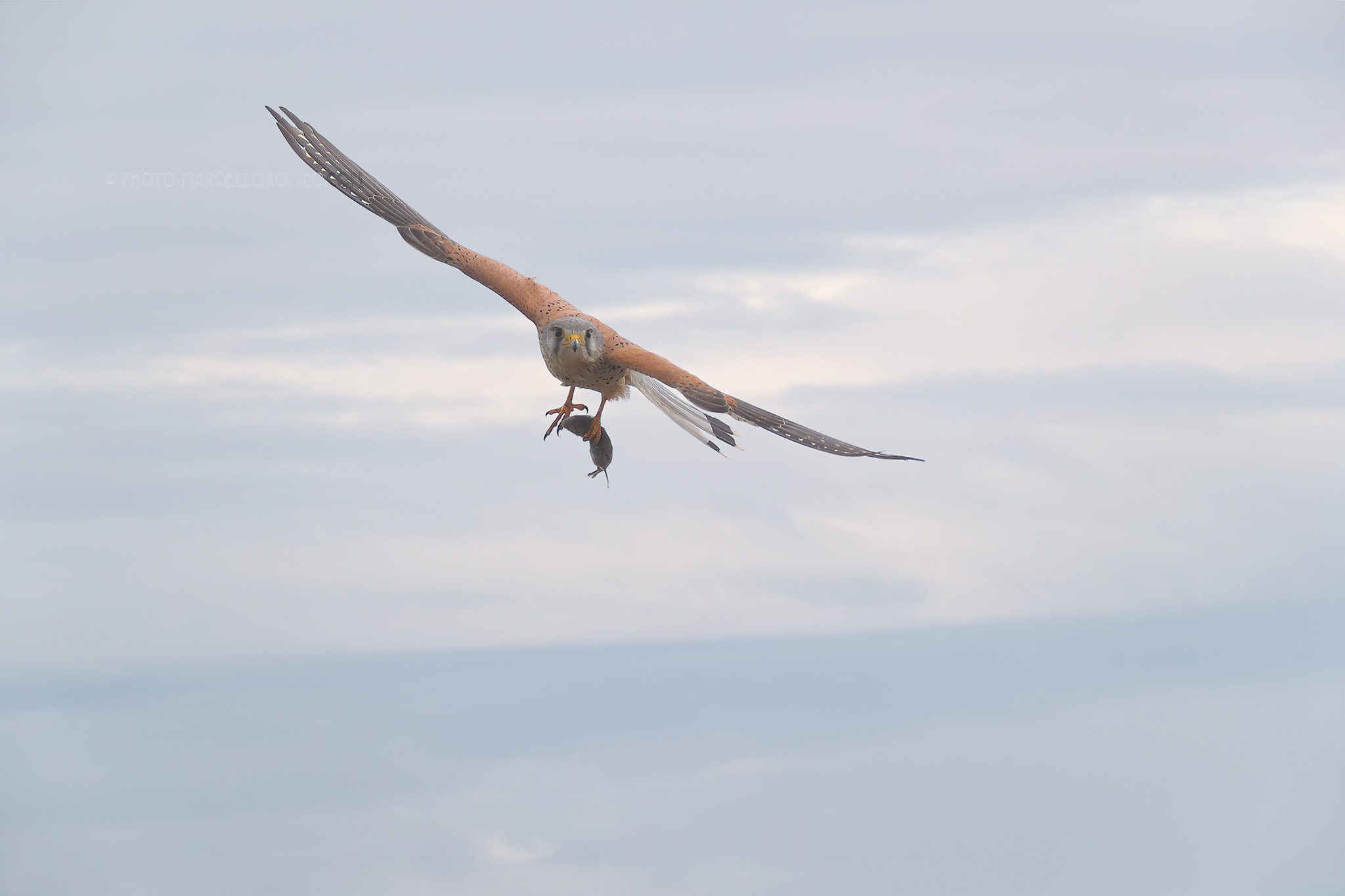 Torenvalk; Kestrel; Falco Tinnunculus