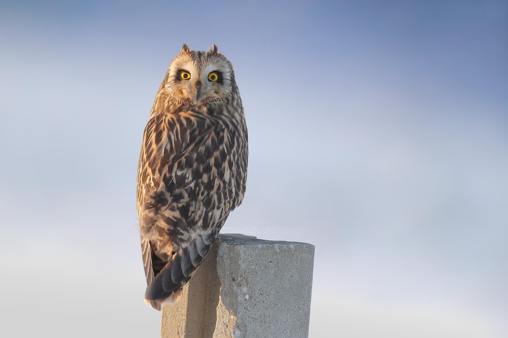 Velduil; Short-eared Owl; Asio Flameus