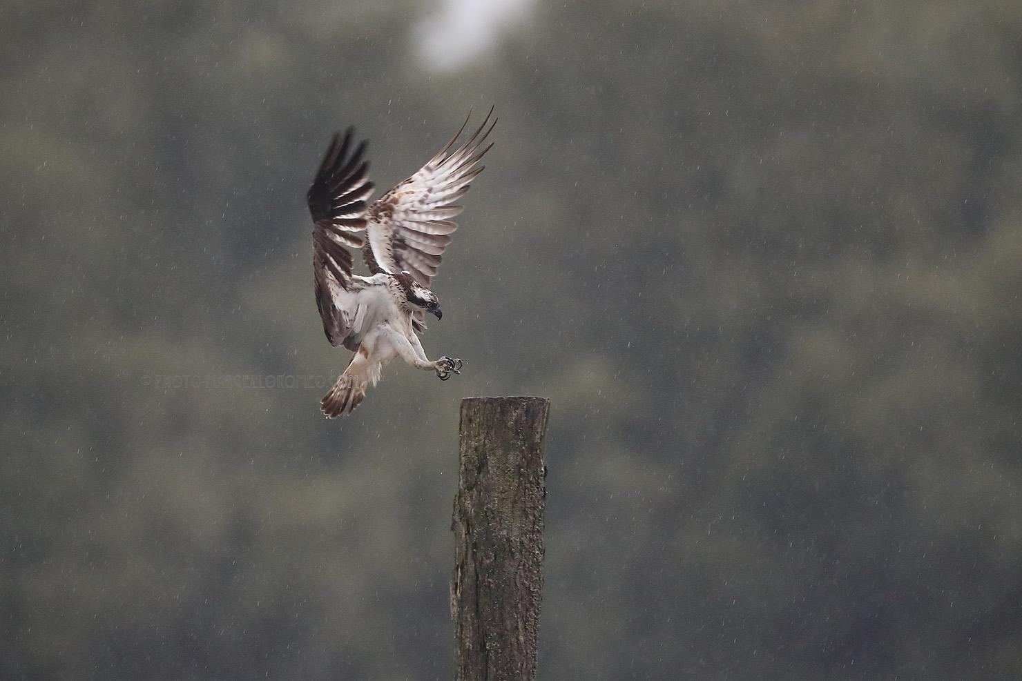 Visarend; Osprey; Pandion Haliaetus