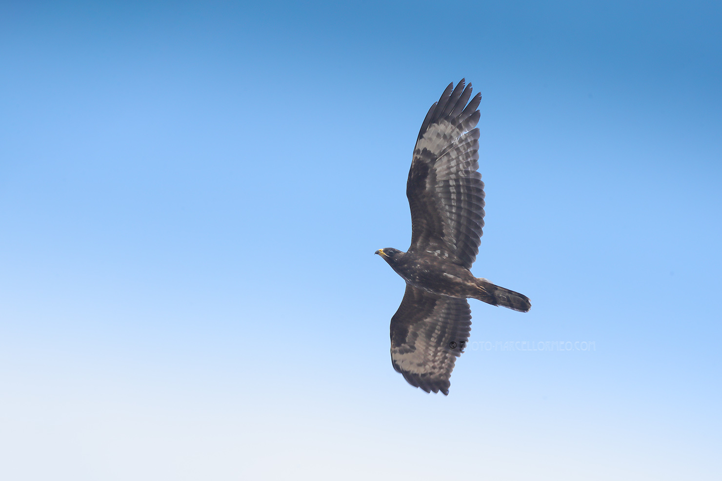 Wespendief; European Honey Buzzard; Pernis Apivorus