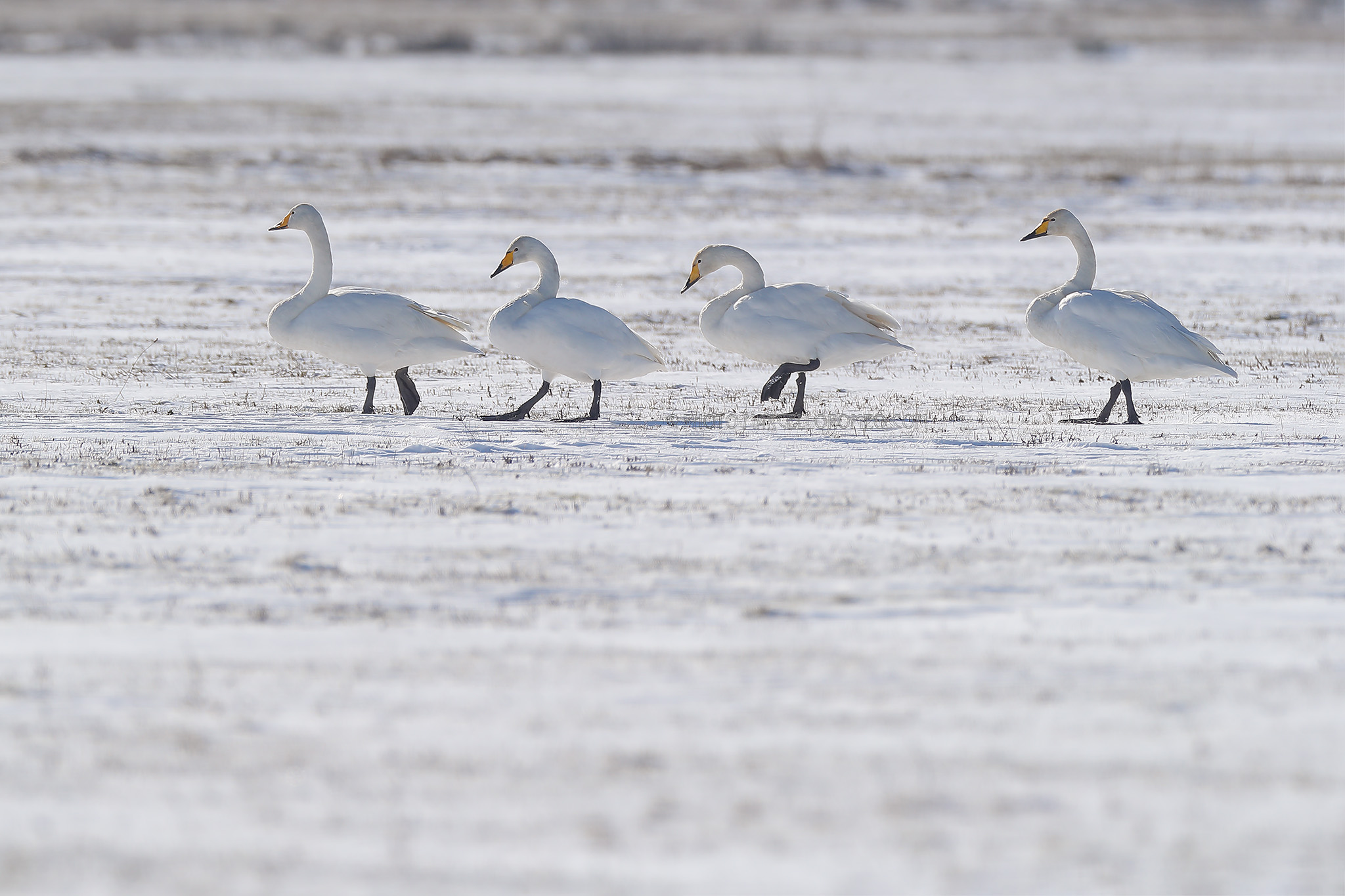 Wilde Zwaan; Whooper Swan; Cygnus Cygnus