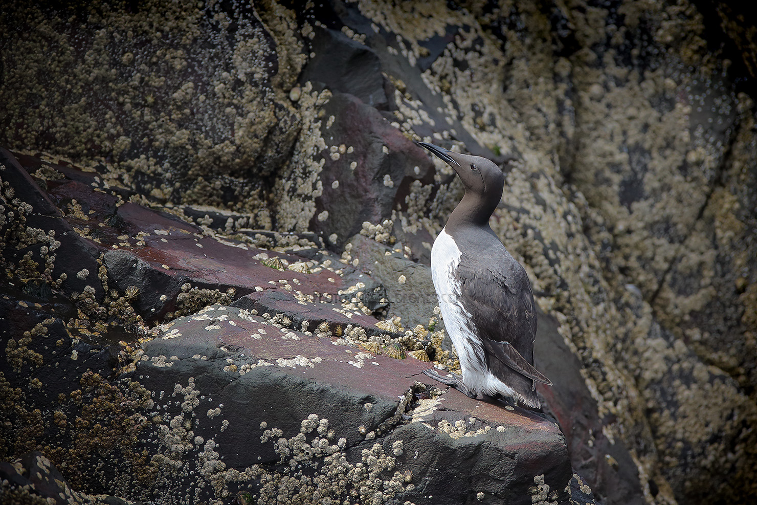 Zeekoet; Common Murre; Uria Aalge