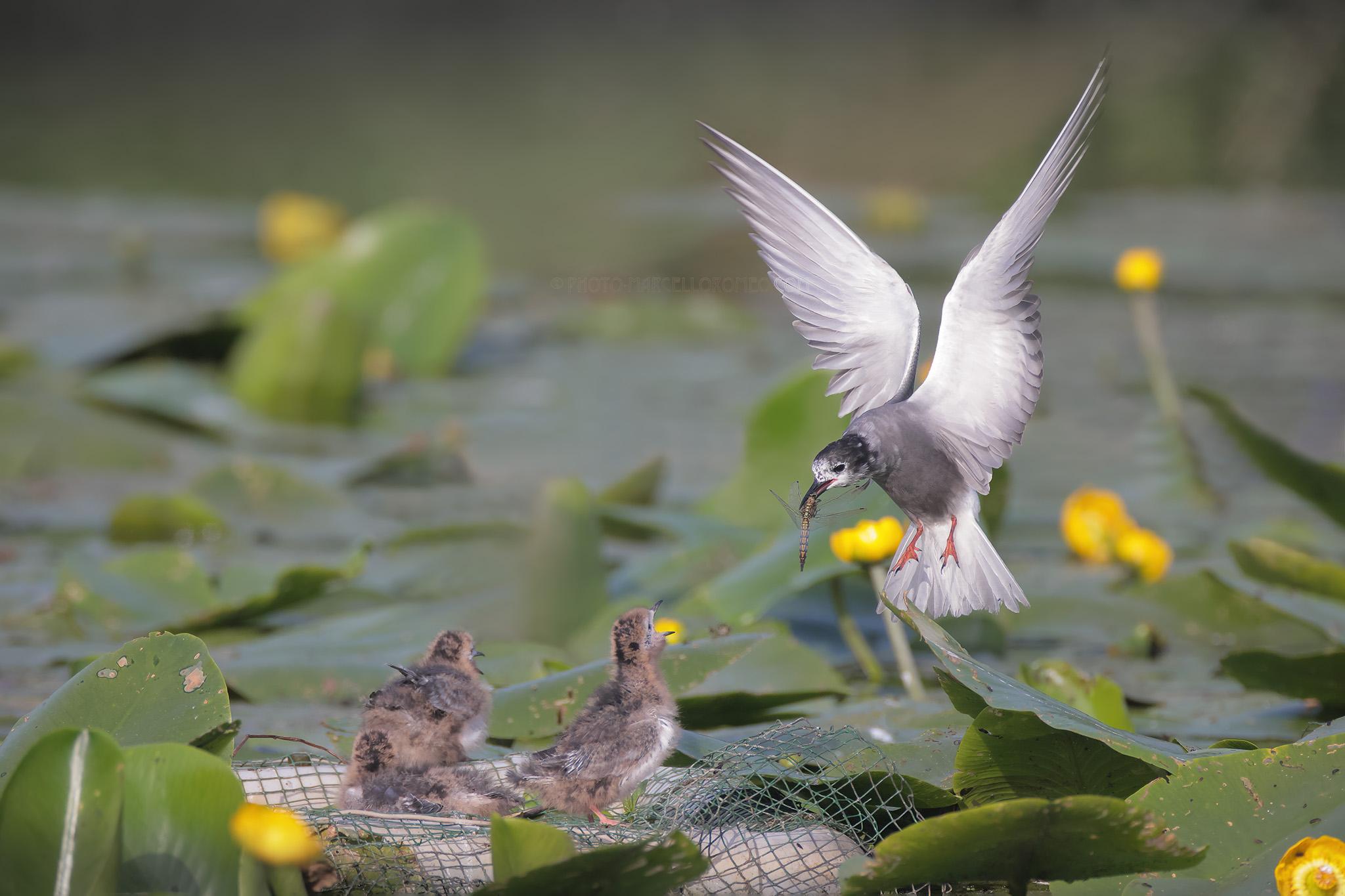 Zwarte Stern; Black Tern; Chlidonias Niger