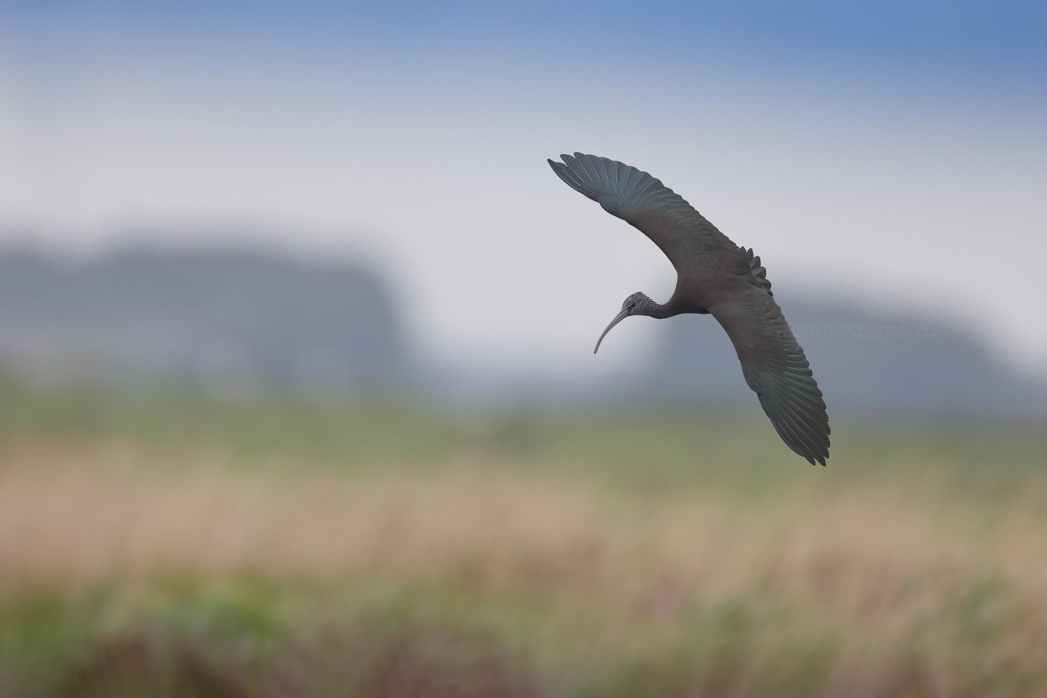 Zwarte ibis; Glossy ibis; Plegadis falcinellus
