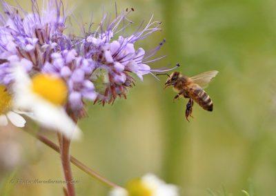 Bij_Bee_Apidae_marcelloromeo_181
