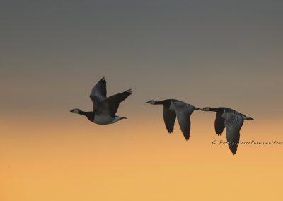Brandgans_Barnacle Goose_Branta Leucopsis_Marcelloromeo_11983