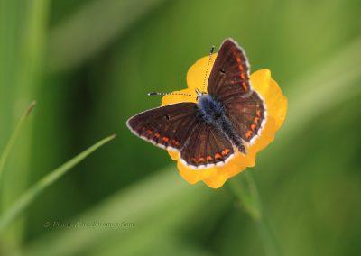 Bruin Blauwtje_Aricia agestis_marcelloromeo_998