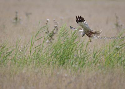 Bruine Kiekendief_Marsh Harrier_Circus Aeruginosus_Marcelloromeo_11307