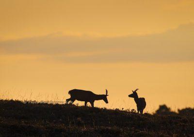 Edelhert;Red Deer;Cervus Elaphus