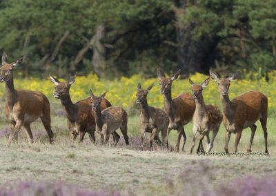 Edelhert_Red Deer_Cervus Elaphus_Marcelloromeo_11542