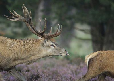 Edelhert_Red Deer_Cervus Elaphus_Marcelloromeo_11731