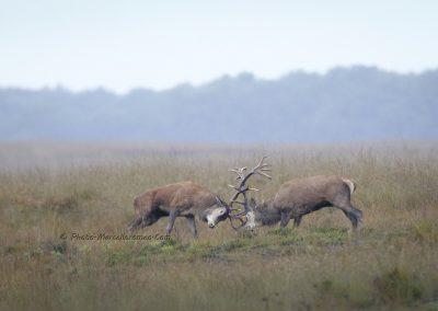 Edelhert_Red Deer_Cervus Elaphus_Marcelloromeo_11869