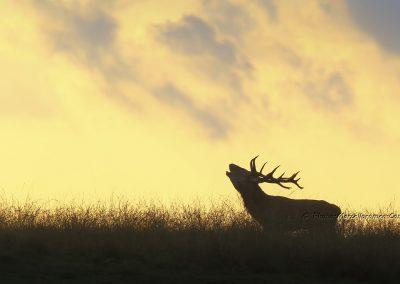 Edelhert_Red Deer_Cervus Elaphus_Marcelloromeo_11881