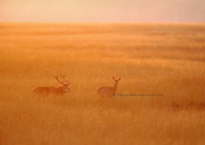Edelhert_Red Deer_Cervus Elaphus_Marcelloromeo_11961