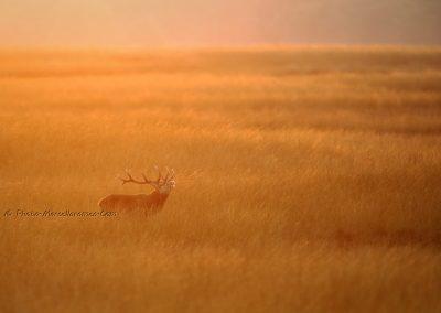 Edelhert_Red Deer_Cervus Elaphus_Marcelloromeo_11962
