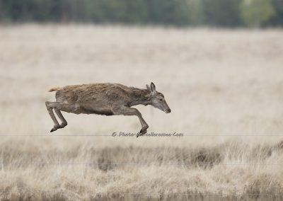 Edelhert_Red Deer_Cervus Elaphus_marcelloromeo_10032