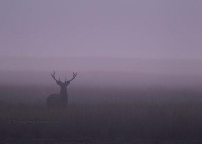 Edelhert_Red Deer_Cervus-Elaphus_marcelloromeo_3249