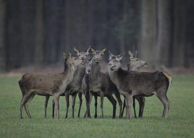 Edelhert_Red Deer_Cervus-Elaphus_marcelloromeo_3487