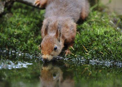 Eekhoorn_Red Squirrel_Sciurus Vulgaris_Marcelloromeo_11953
