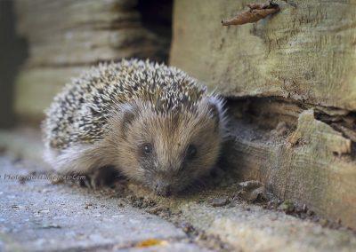 Egel_European Hedgehog_Erinaceus Eurpaeus_Marcelloromeo_8545