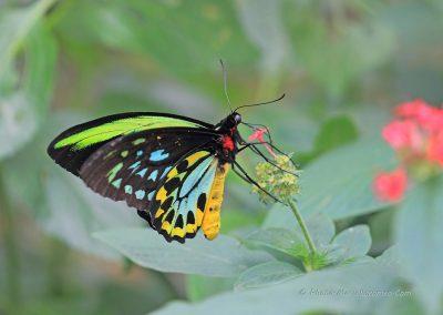 Exotische Vlinder_marcelloromeo_1253
