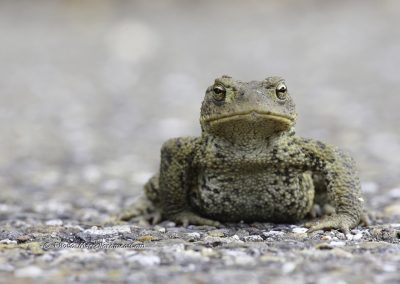 Gewone Pad_Common Toad_Bufo-Bufo_marcelloromeo_4371