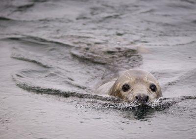 Grijze Zeehond_Grey Seal_Halichoerus Grypus_marcelloromeo_9638