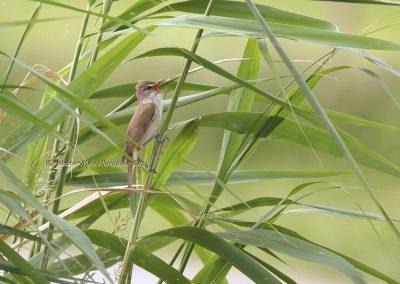 Grote Karrekiet_Great Reed Warbler_Acrocephalus Arundinaceus_Marcelloromeo_10643
