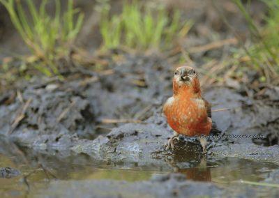 Grote Kruisbek_Parrot Crossbill_Loxia pytyopsittacus_Marcelloromeo_11996