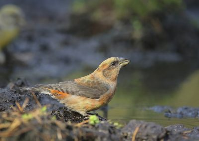 Grote Kruisbek_Parrot Crossbill_Loxia pytyopsittacus_Marcelloromeo_12004