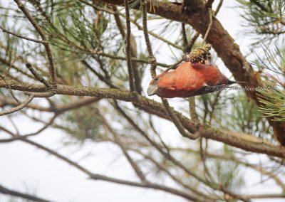 Grote Kruisbek_Parrot Crossbill_Loxia pytyopsittacus_Marcelloromeo_12017