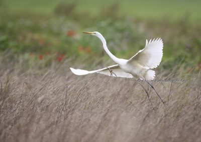Grote Zilverreiger_Great White Heron_Ardea Alba_Marcelloromeo_11942