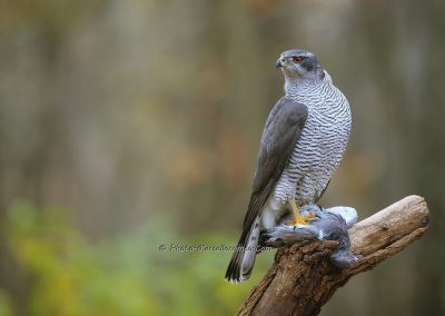 Havik_Northern Goshawk_Accipiter Gentilis_Marcelloromeo_8985