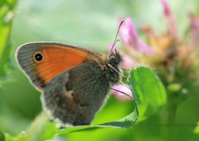 Hooibeestje_Small Heath butterfly_Coenonympha pamphilus_marcelloromeo_362