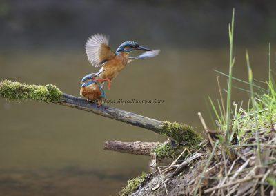 IJsvogel_Kingfisher_Alcedo Atthis_marcelloromeo_10051