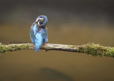 IJsvogel_Kingfisher_Alcedo Atthis_marcelloromeo_10070