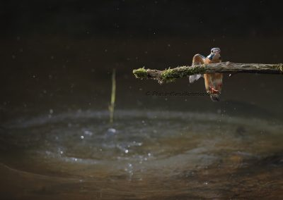 IJsvogel_Kingfisher_Alcedo Atthis_marcelloromeo_10091