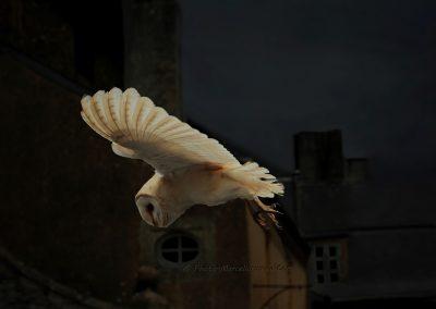 Kerkuil_Barn Owl_Tyto-Alba_marcelloromeo_1882