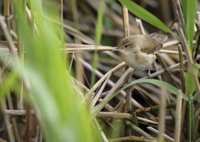 Kleine Karekiet_Reed Warbler_Acrocephalus Scirpaceus_Marcelloromeo_11197