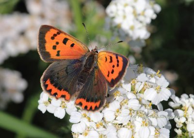 Kleine Vuurvlinder_Lycaena phlaeas_marcelloromeo_959