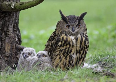 Oehoe_Eurasian Eagle Owl_Bubo Bubo_marcelloromeo_3873-2B