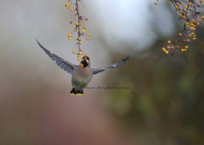 Pestvogel_Bohemian Waxwing_Bombicylla Garrulus_Marcelloromeo_8932