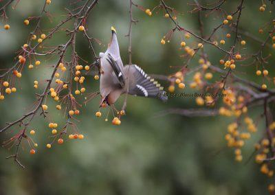 Pestvogel_Bohemian Waxwing_Bombycilla Garrulus_Marcelloromeo_8938