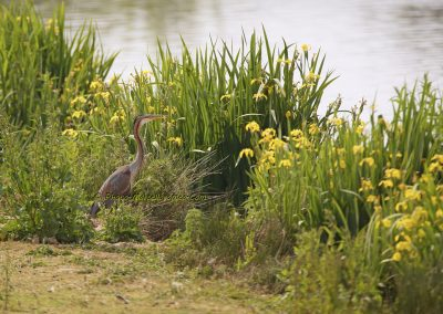 Purperreiger_Purple Heron_Ardea Purpurea_Marcelloromeo_10674