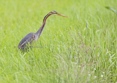 Purperreiger_Purple Heron_Ardea Purpurea_Marcelloromeo_7549