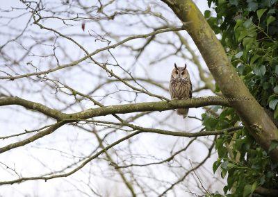Ransuil_Long-eared Owl_Asio Otus_marcelloromeo_9736