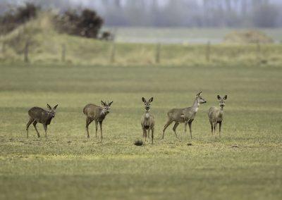 Reen_Roe Deer_Capreolus-Capreolus_marcelloromeo_2126